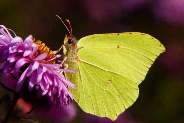 Naturschützer und Zitronenfalter