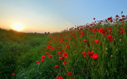 red petaled flowers field