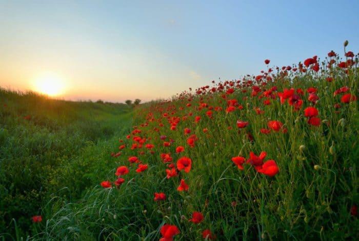 red petaled flowers field