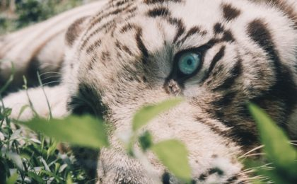 white tiger on focus photography